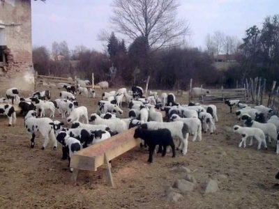 Автохтона популација на овци ПРАМЕНКА-Овчеполка