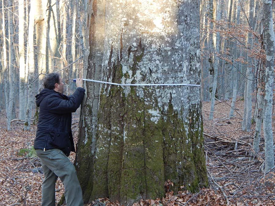 Најстари вековни дрвја, значајни за биодиверзитетот на малешевските планини (2)