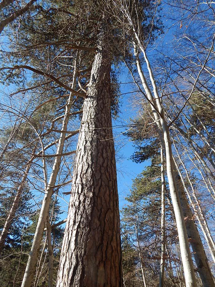 Најстари вековни дрвја, значајни за биодиверзитетот на малешевските планини (3)