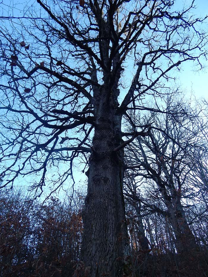 Најстари вековни дрвја, значајни за биодиверзитетот на малешевските планини (4)