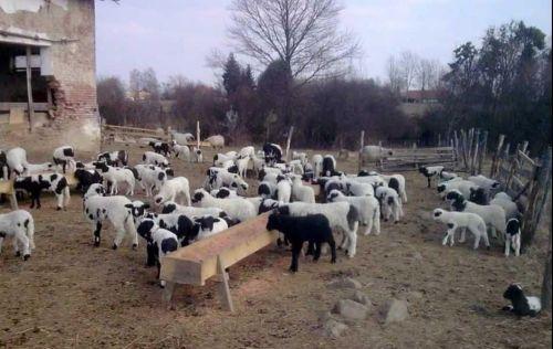 Автохтона популација на овци Праменка - Овчеполка